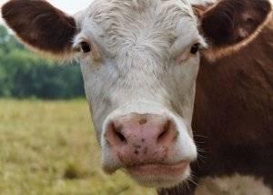 Коровы болит один глаз