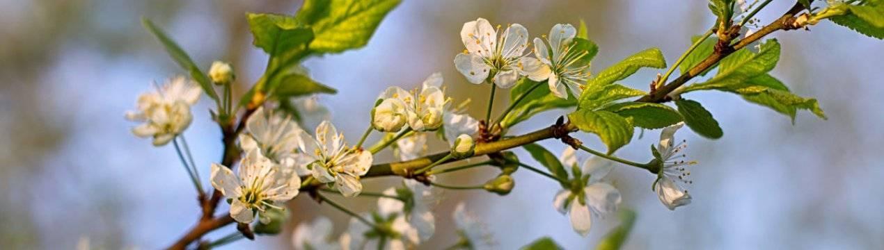 Почему на сливе нет плодов? почему ваша слива не цветет или цветет, но не плодоносит: ответы специалиста
