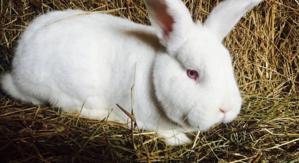 Новозеландский красный кролик и его характеристика
