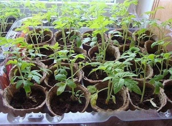 Как обрабатывать помидоры эпином. препарат «эпин» для комнатных растений: особенности применения