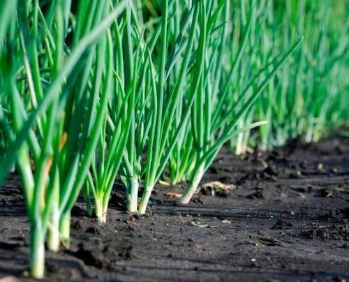 Описание лука слизуна, особенности выращивания и ухода