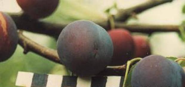 Описание и характеристики сливы сорта этюд, опылители и выращивание