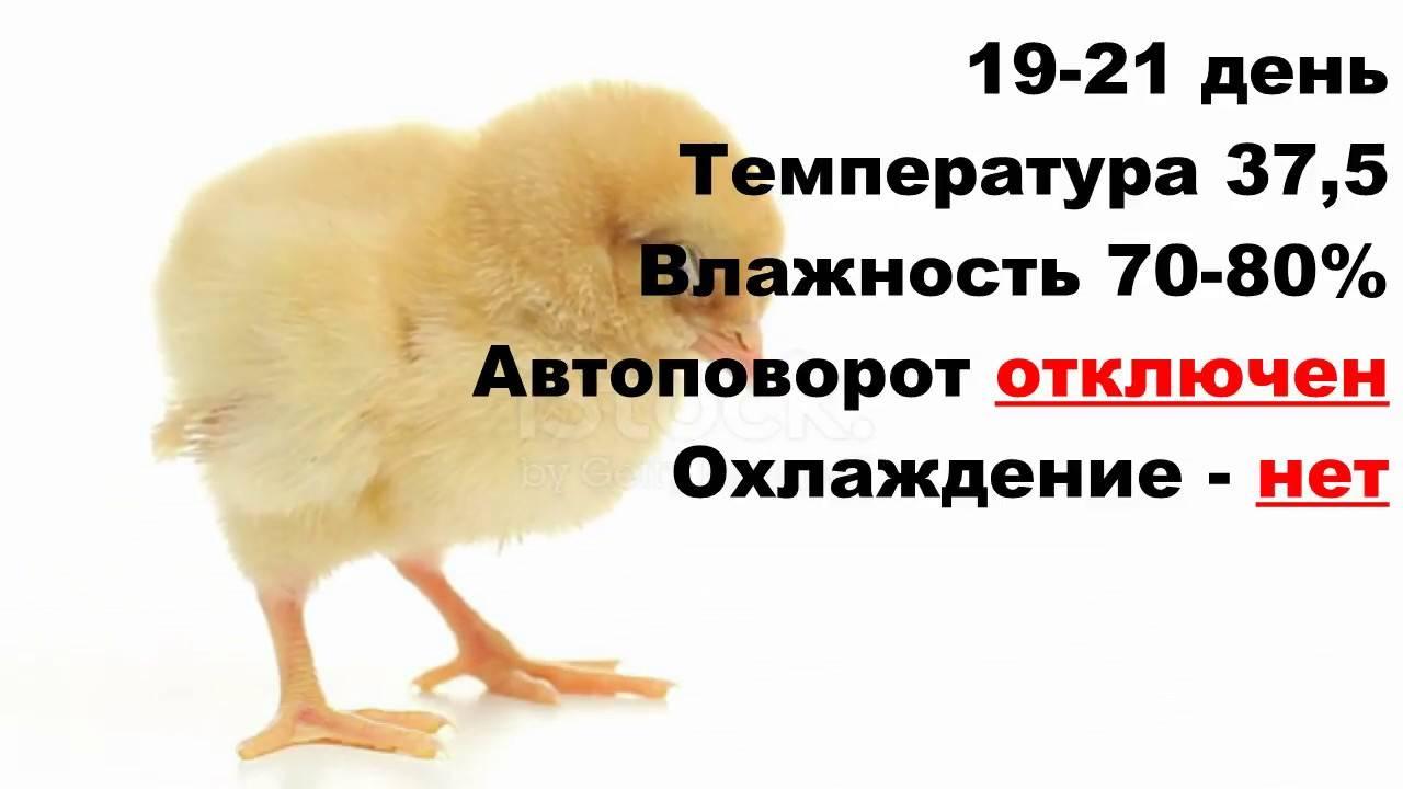 Тонкости инкубации куриных яиц в домашних условиях. как вывести здоровый молодняк без наседок