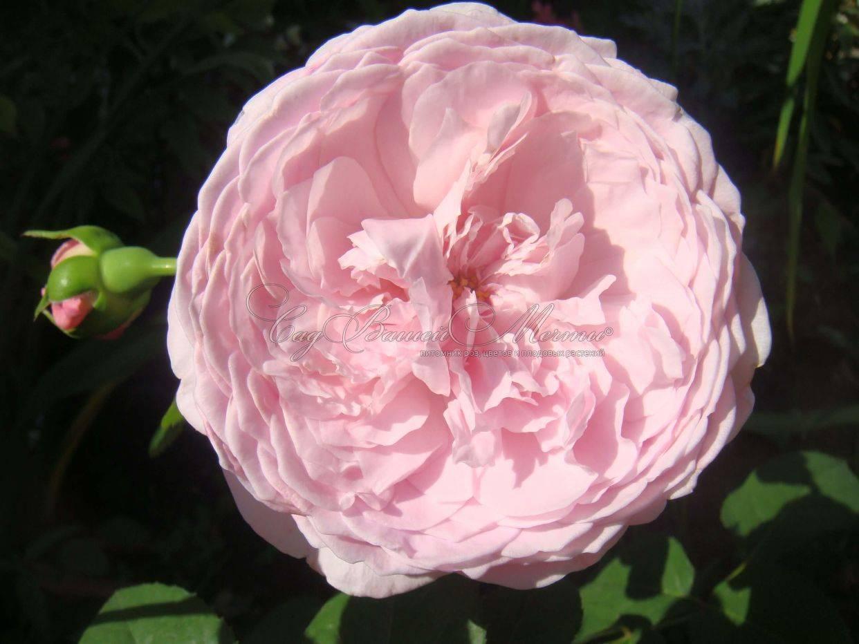 О розе Спирит оф фридом (Spirit of freedom): описание и характеристики