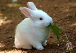«хочуха» у декоративных кроликов. кастрация и стерилизация | littlerabbit.ru