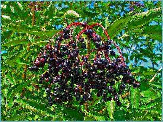 Бузина чёрная: подробное описание вида, популярные сорта