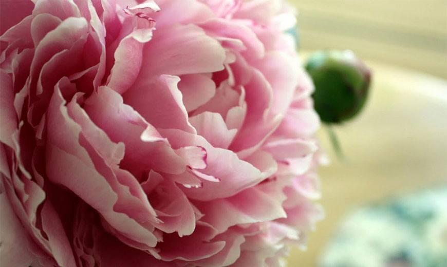 Все о пионах: значение цветка, чем отличается древовидный пион от травянистого