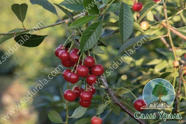Вишня бессея – декоративный кустарник или вкусная ягода?