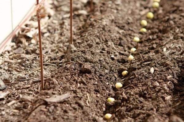 Секреты успешной посадки гороха: нужно ли замачивать семена