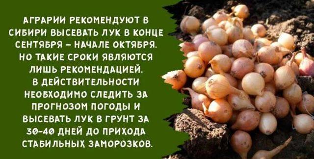 Посадить лук севок в Подмосковье: срок и правила посева весной