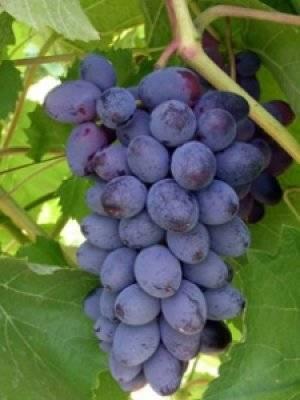 Виноград кишмиш: описание, лучшие сорта, достоинства и недостатки, выращивание, отзывы