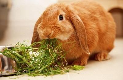 Трава молочай - можно ли давать её кроликам?