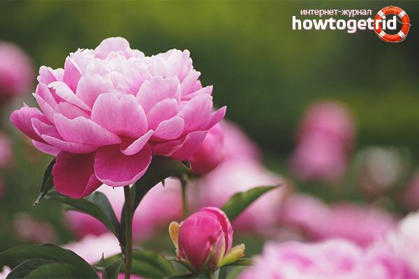 Почему не цветут пионы, что делать?