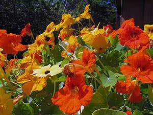 Посадка и уход настурции в открытом грунте — особенности выращивания и популярные сорта