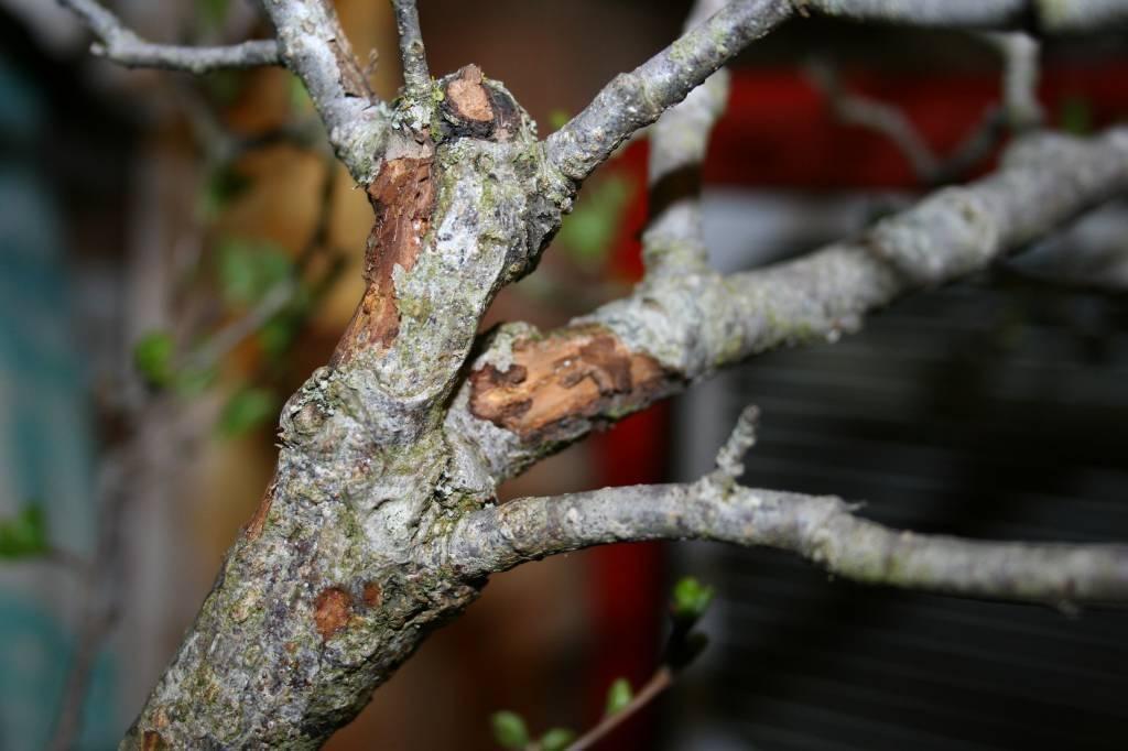 Почему на деревьях трескается кора, и как с этим бороться