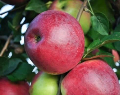 Яблоня 'веньяминовское' — википедия. что такое яблоня 'веньяминовское'