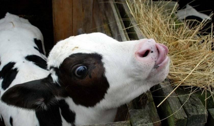 Понос у теленка: чем лечить в домашних условиях (препараты, народные средства)