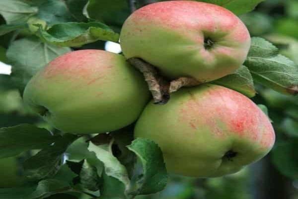 Яблоня кроха