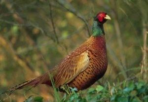 Содержание и выращивание фазанов в домашних условиях