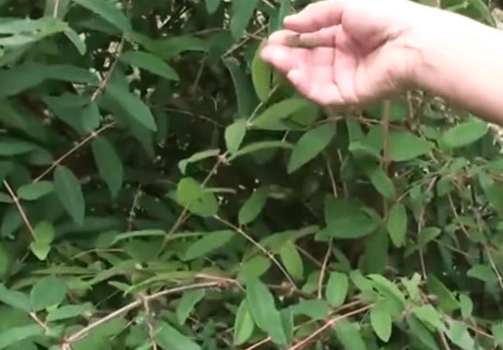 Чем подкормить жимолость весной