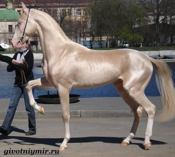 Ахалтекинская лошадь — википедия