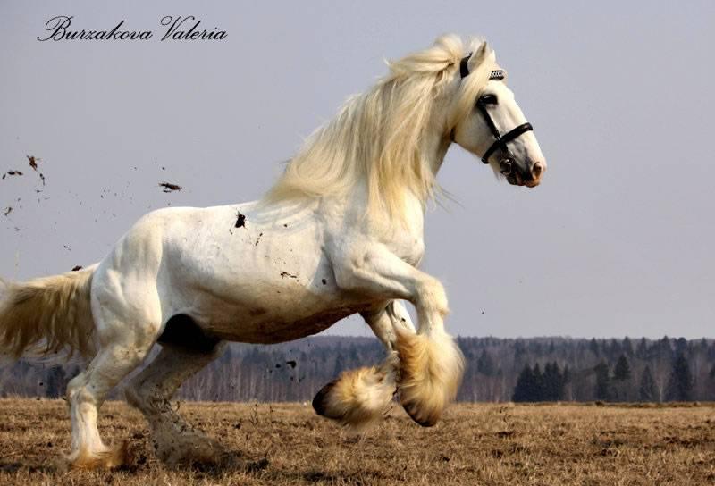 Обзор английских чистокровных лошадей