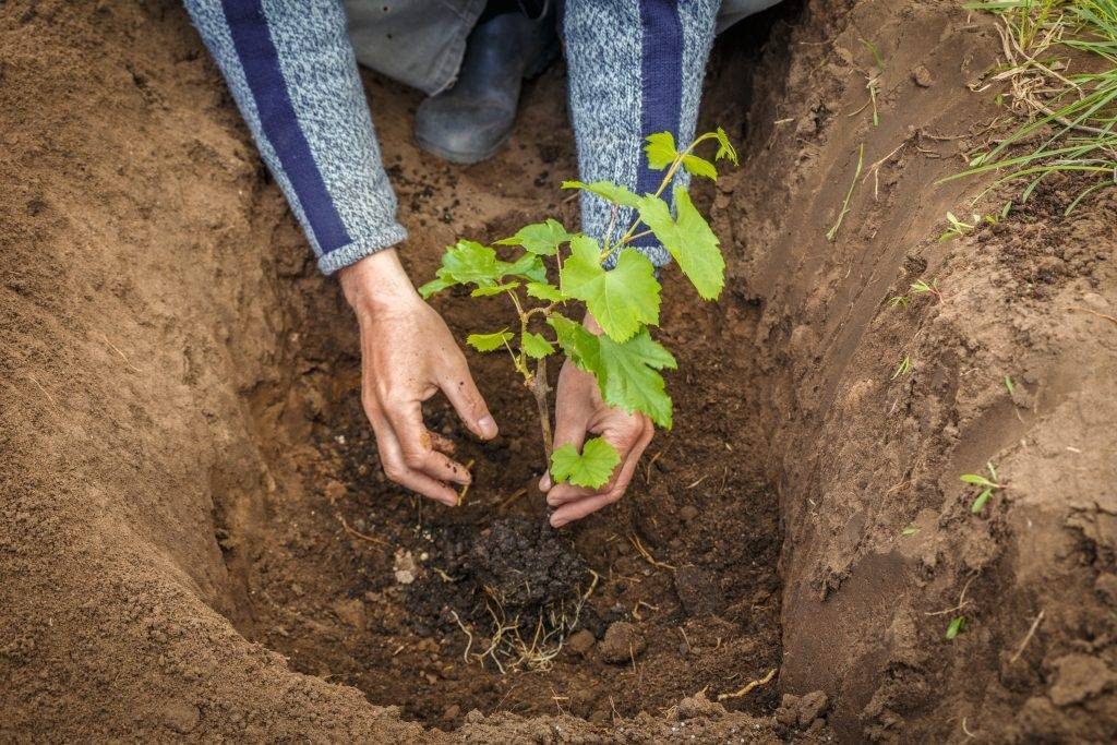 Где посадить виноград на участке