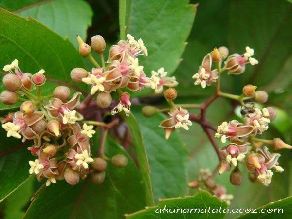 Как цветет виноград