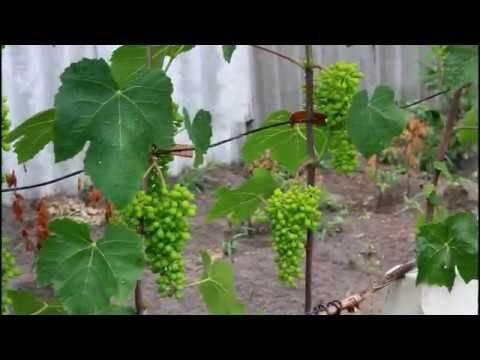 Искусственное опыление соцветий — виноград