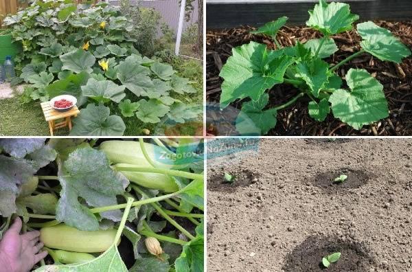 Агротехника выращивания кабачков