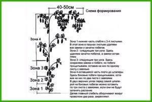 Схема обрезки огурцов в теплице
