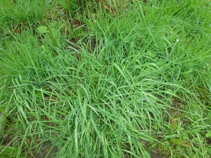 Полевица побегоносная: описание, выращивание и полив