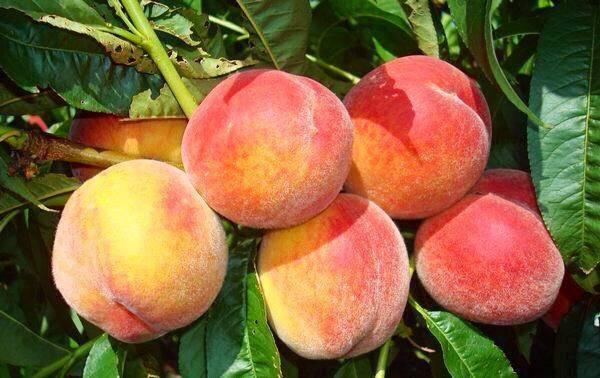 Как посадить персик: схема посадки саженцев, выращивание и правильный уход