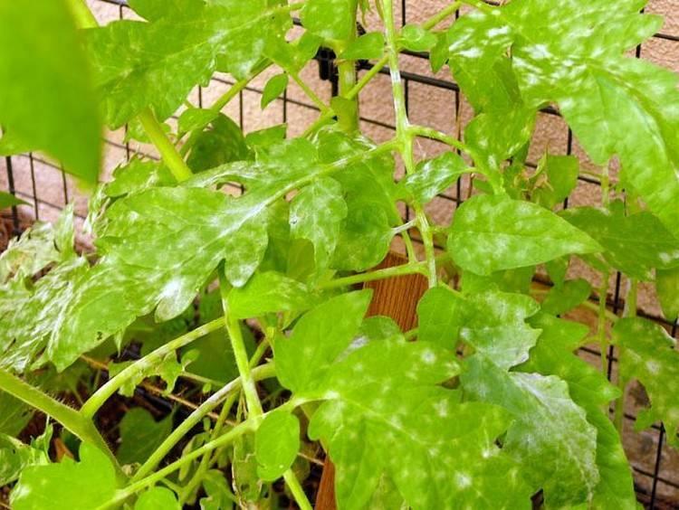 Определитель болезней томатов: фото, описание, меры борьбы и профилактика