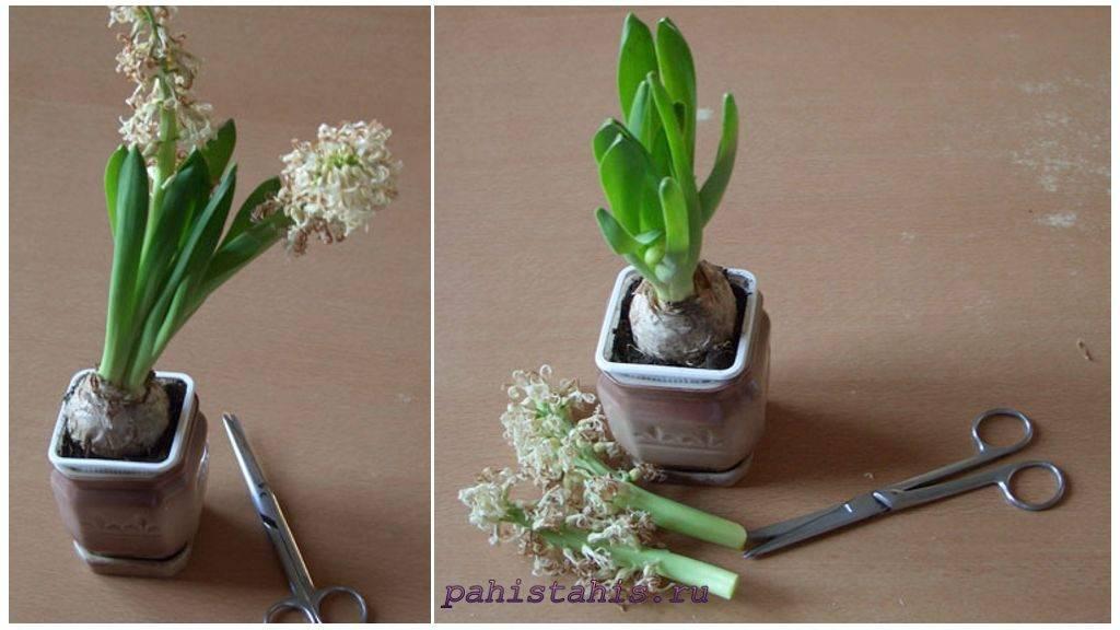 Что делать с гиацинтами после цветения в горшке