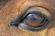 Глаз лошади – строение и диагностика 2020