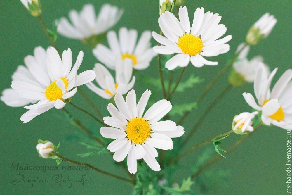 Ромашка: видовое разнообразие, описание, полевая и аптечная, низкорослые растения