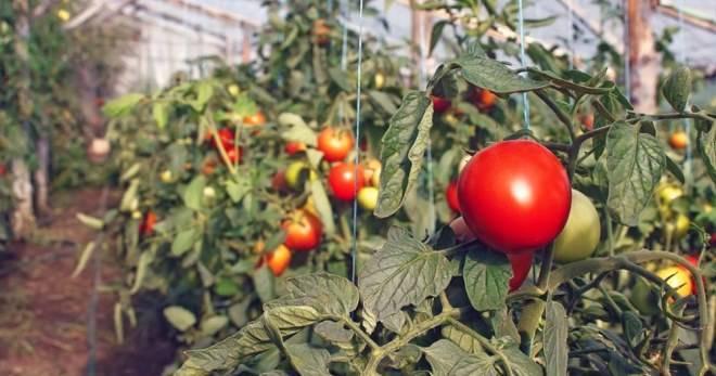 Дедовские методы подкормки помидор в теплице