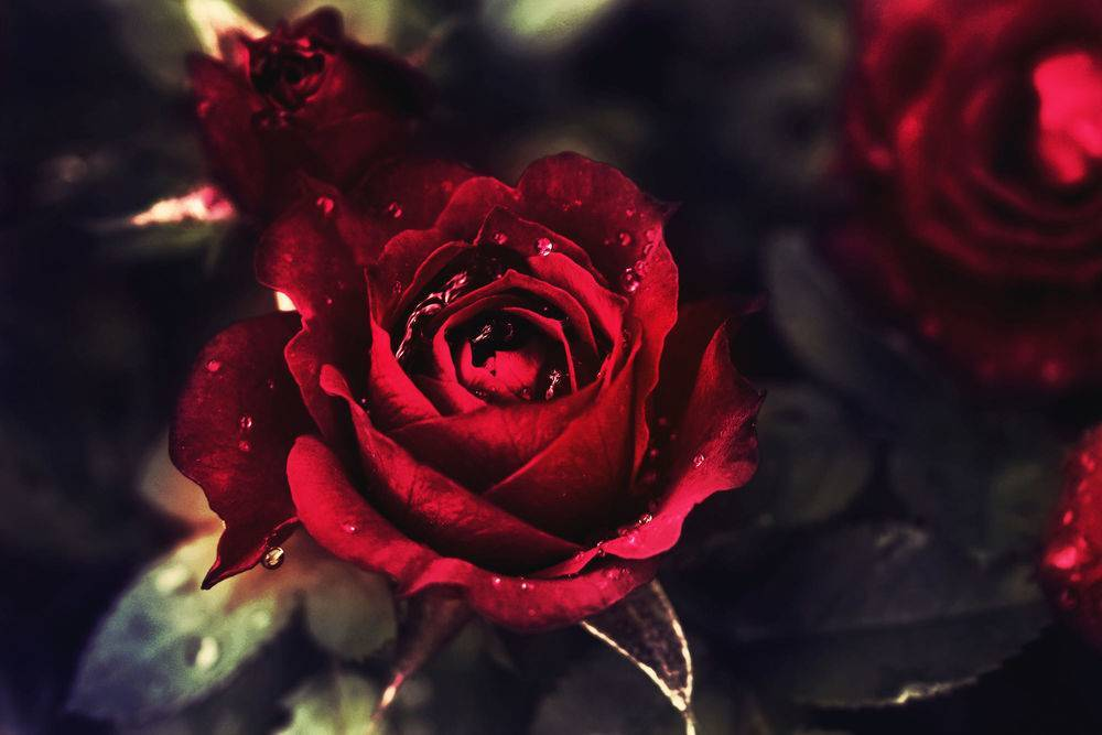Красные розы: сорта и правила ухода