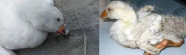 Почему гуси падают на ноги