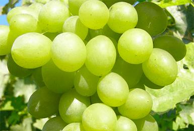 Виноград августин: фото и описание сорта, достоинства и недостатки, посадка и уход, отзывы