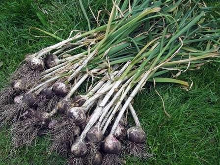 Выращивание кабачков – лучшие сорта, когда и как садить, профилактика и борьба с болезнями и вредителями