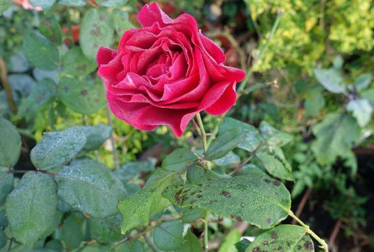 Как удалять слепые побеги на розах