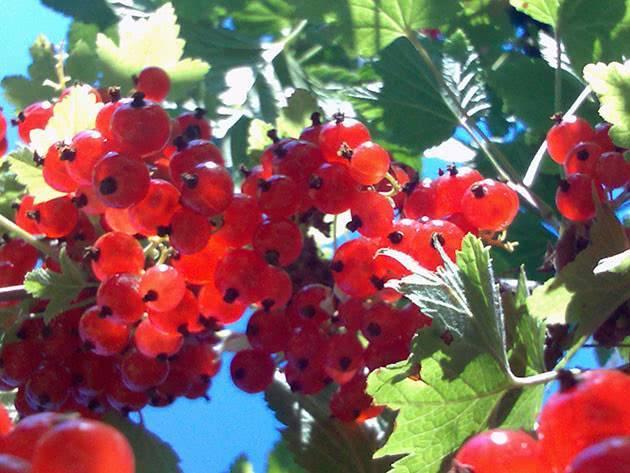 Почему красная смородина цветет а ягод нет. почему не плодоносит черная смородина? ошибки садоводов, приводящие к бесплодию смородины