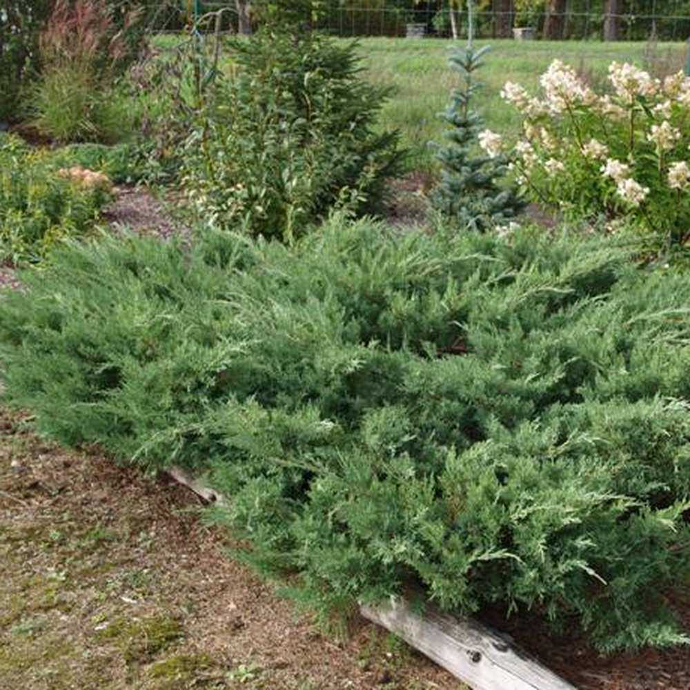 Можжевельник пфитцериана глаука описание и фото: juniperus pfitzeriana wilhelm pfitzer