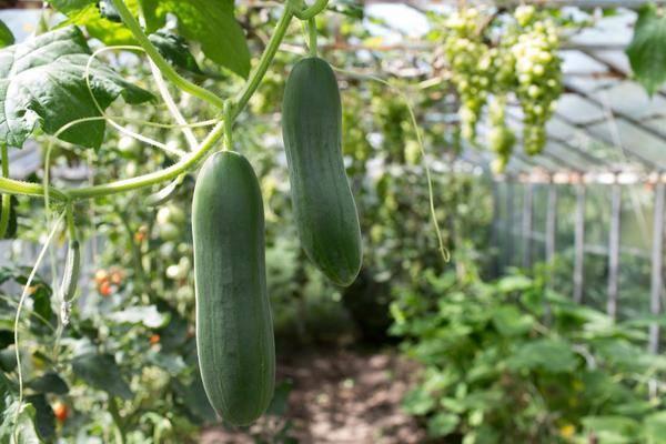 Как вырастить хороший урожай огурцов: советы по выращиванию и уходу за овощами на огороде и в теплице (85 фото)