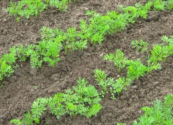 Через сколько дней всходят семена баклажанов после посева?