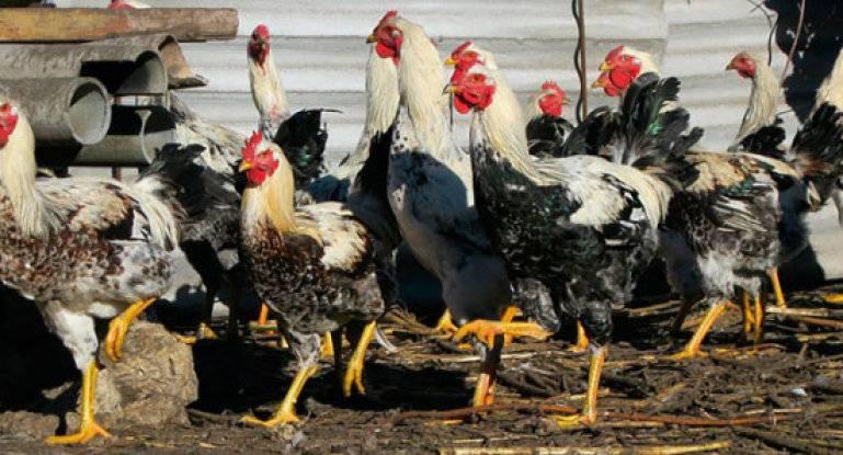 Юрловская голосистая порода кур – описание, фото и видео
