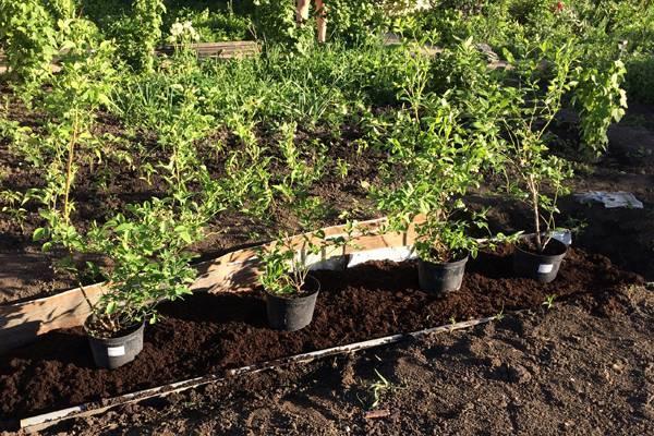 Выращивание голубики садовой в подмосковье