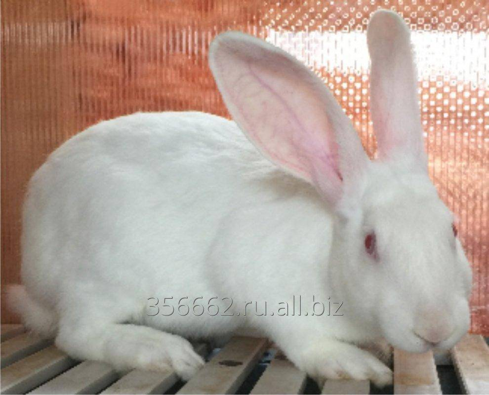 Характеристики белого кролика